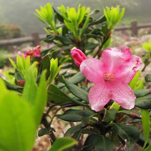 Alpine Rose (Road Dendron Ferguineum)