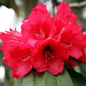 Rhododendron de l'Himalaya (Rhoddendron arboreum)