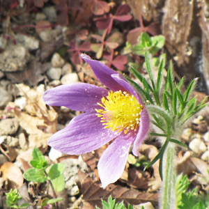 Pulsatilla Vulgaris (Opacal officinalis)