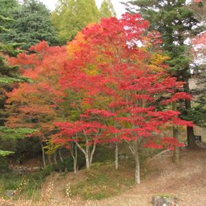Omomiji (lá mùa thu)