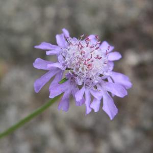 マツムシソウ Scabiosa japonicum IMG_3949