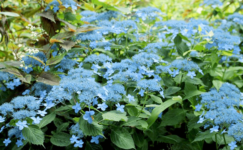 Núi Rokko nơi bạn có thể thưởng thức hoa cẩm tú cầu từ mùa hè đến mùa thu